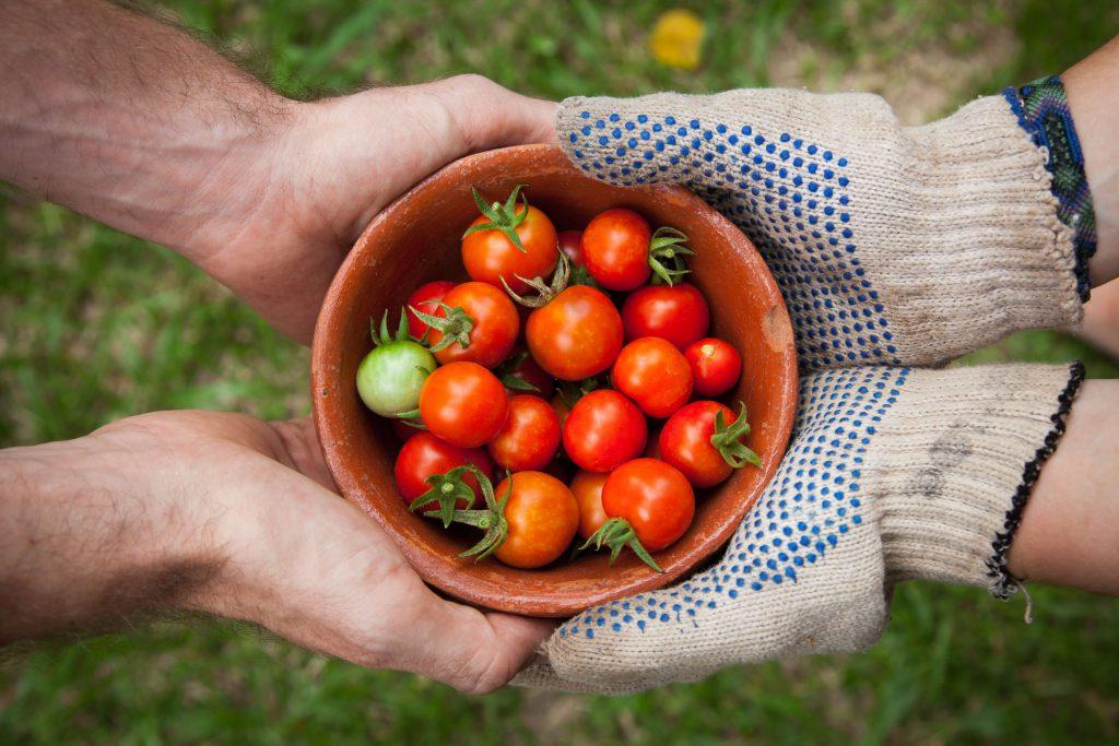 gärnter halten schale mit tomaten